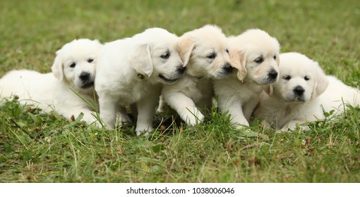 Amazing group of golden retriever puppies on the grass