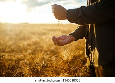 Amazing Hands Of A Farmer Close-up Holding A Handful Of Wheat Grains In A Wheat Field. Close Up Nature Photo Idea Of A Rich Harvest. Copy Space Of The Setting Sun Rays On Horizon In Rural Meadow.