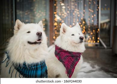 amazing and happy samoyed dog with christmas lights background