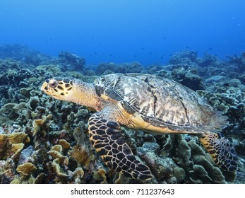 amazing Hawksbill Sea Turtle at the coral reef of the Caribbean Sea around Curacao