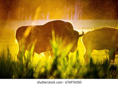 Amazing huge and powerful bisons in sunrise light in Belovezhskaya Pushcha National Park, Belarus.