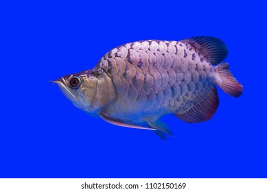 Amazing Hunchback Arowana Silver this is a favorite collector. The Asian arowana comprises several phenotypic varieties of freshwater fish distributed geographically across Southeast Asia.