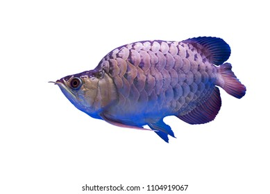 Amazing Hunchback Arowana Silver this is a favorite collector. The Asian arowana comprises several phenotypic varieties of freshwater fish geographically across Southeast Asia. on white background.