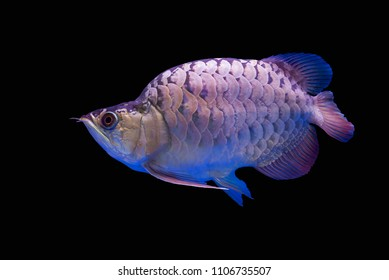 Amazing Hunchback Arowana Silver this is a favorite collector. The Asian arowana comprises phenotypic varieties of freshwater fish distributed geographically across Southeast Asia. on black background