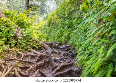 Amazing interlacing of the roots of large trees. Cape Lookout Trail, Oregon, USA