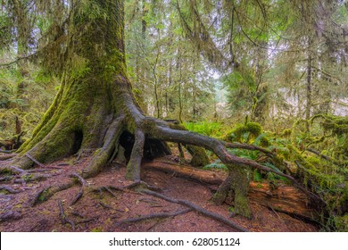 Amazing interlacing of the roots of large trees. Many trees and mosses grow from and over the fallen tree trunks. Hoh Rain Forest, Olympic National Park, Washington state, USA