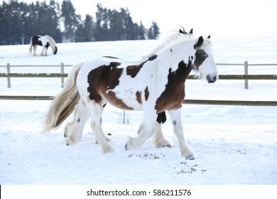 Amazing irish cob moving in the snow in winter