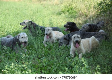 Amazing Irish wolfhounds resting together in shadow