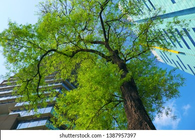 Amazing landscape from bottom view at Ho Chi Minh city, Vietnam on day, two modern building with green tree on blue sky background, the tamarind tree with young leaf make fresh enviroment at big city