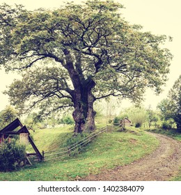 Amazing landscape, Champion Oak - millennial tree, one of the oldest trees, popular tourist attraction in Uzhanian national nature park, a part of Carpathian biosphere reserve, Zakarpattia, Ukraine