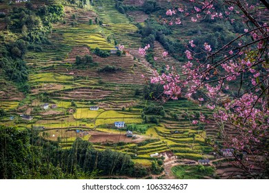 Amazing landscape of green rice fields and terraces  in Himalaya mountains. Small houses among them. Blossom branches are on the foreground.