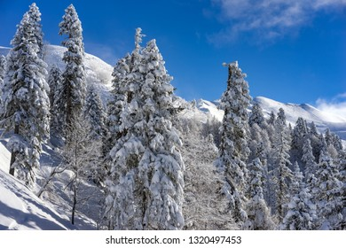 Amazing landscape with pine trees covered with snow on background blue sky after snowfall on ski resort of the Caucasus mountains