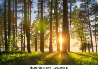 Amazing landscape of sunny summer forest at sunset. Sun rays through trunks of trees. Grass glowin on warm evening sunlight. Forest on lake shore. Vivid green forest nature with sunbeams