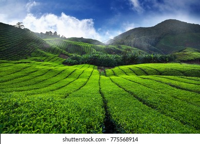 Amazing landscape view of tea plantation in sunset/sunrise time. Nature background with blue sky and foggy.