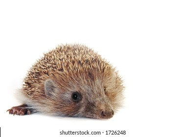 Amazing little hedgehog isolated on white . With large area for your text.