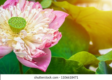 Amazing lotus flowers images stock photos vectors shutterstock amazing lotus flower is bloom on natural background beautiful pink lotus flower mightylinksfo