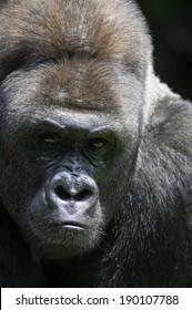 Amazing lowland gorilla