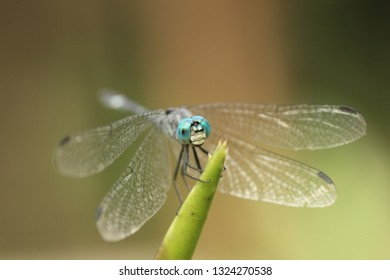 Amazing macro of dragonfly Micrathyria catenata ,Neotropical genus of dragonflies. They have bright green eyes and white faces. They are commonly known as Tropical Dashers