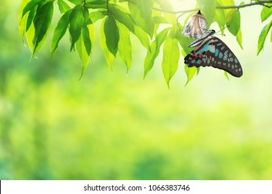 Amazing moment about butterfly change form chrysalis.