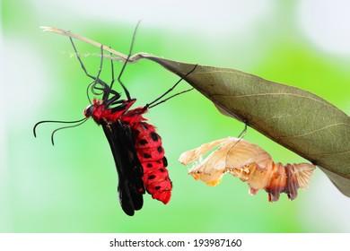 amazing moment about butterfly change form chrysalis - Byasa polyeuctes
