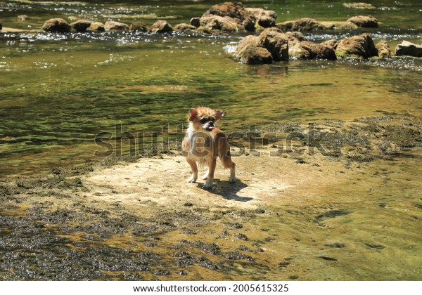 Amazing moment capture: pekingese chihuahua dog standing on a dry surface in the river, water dripping off the dog's hair, tongue pushed out, looking quite fun.