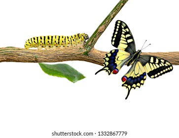 Amazing moment ,machaon Swallowtail Butterfly, pupae and cocoons are suspended. Concept transformation of Butterfly