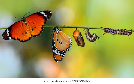 Amazing moment ,Monarch Butterfly , caterpillar, pupa and emerging with clipping path