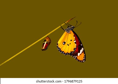 Amazing moment ,Monarch Butterfly, pupae  . Concept transformation of Butterfly