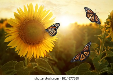 Amazing monarch butterflies in sunflower field at sunset