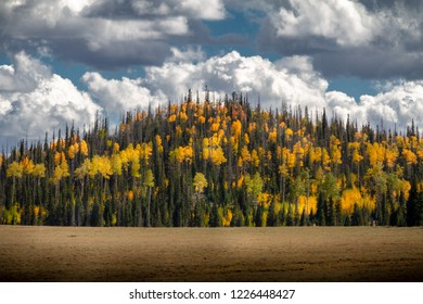 Amazing mountain of pine trees and the  lush autumn colors of Birch and Aspen trees on a cloudy day in Dixie National Forrest in Southern Utah.