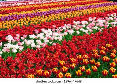 Amazing multicolored tulips field.