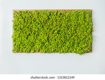 Amazing natural texture of reindeer moss. Decoration made of lichen Cladonia rangiferina. Green moss on the wall. Art background with copy space. Picture from organic material. Beauty of earth.