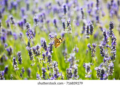 The amazing nature of Cyprus Lavender and Butterfly