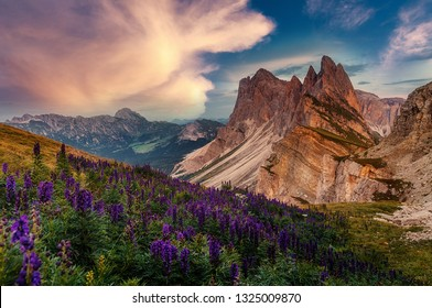 Amazing nature landscape. fantastic view of Majestic Dolomites mountains peaks with colorful sky and pink flovers on foreground. Odles group shot from Seceda, Santa Cristina Valgardena, Italy.