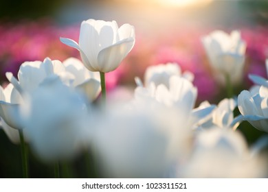 Amazing nature spring concept of white tulips grow under sunlight at summer or spring sunset landscape. Natural view of tulip flower bloom in garden with green grass as nature background for 8 march.