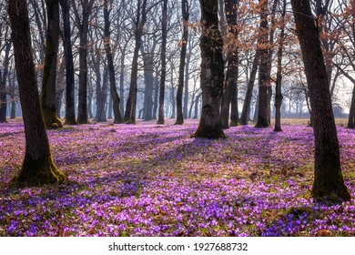 Amazing nature spring landscape with wild growing purple crocus or saffron flowers in the oak forest, scenic view, natural seasonal background