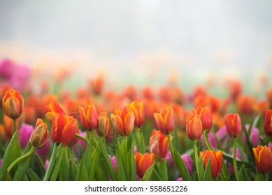 Amazing nature of tulips under sunlight at the middle of summer or spring day landscape. Natural view of flower blooming in the garden with green grass as a background.