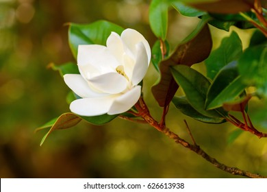 Southern magnolia tree images stock photos vectors shutterstock amazing nature view of white magnolia tree under sunlight at middle of summer or spring day mightylinksfo