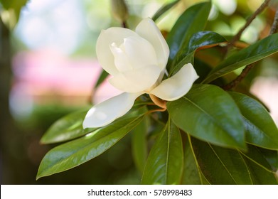 Amazing nature of white magnolia under sunlight at middle of summer or spring day. Natural view of bright magnolia flower blooming in garden with green leaves as background. Southern magnolia tree..
