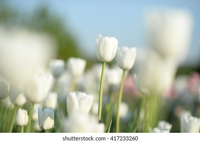 Amazing nature of white tulips under sunlight at the middle of summer or spring day  landscape.  Natural view of flower blooming in the garden with green grass as a  background.