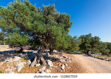 Amazing olive garden near the town of Lun, on Pag island, Croatia. Some of the trees are more than a thousand years old!