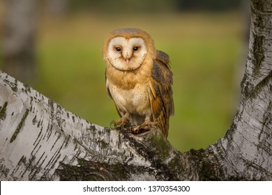 Amazing owl bird sitting on birch branch. Beautiful natural scene, very peaceful and relaxing. Colorful with pleasant warm evening light.