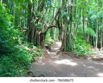 Amazing path leading to Manoa Falls on Oahu, Hawaii