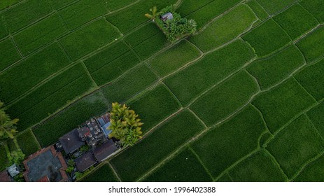 Amazing pattern of ricepaddy field in Ubud, Bali from above