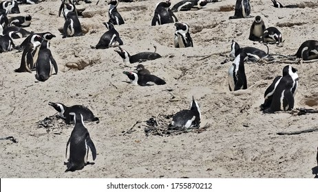 Amazing penguin colony on the beach of Cape Town. Many black and white birds stand, lie on the sand in the nests, brush their feathers. Unusual sight.
