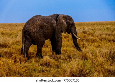 amazing photograph of an elephant siluette standing in the middle of african savannah grassland with an absolut blue sky