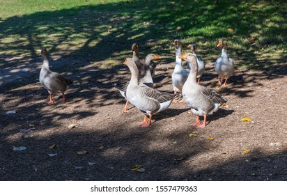Amazing picture of group of Geese on the side of a lake in wilderness. The image perfectly represents: Goose floating, goose on water, goose in the lake, geese formation.
