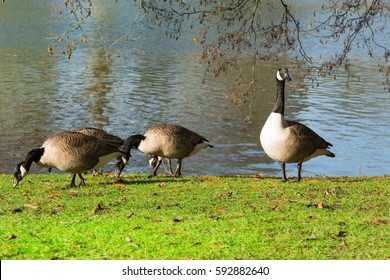 Amazing picture of three Canada Geese on the side of a lake in wilderness. The image perfectly represents: Goose floating, goose on water, goose in the lake, geese formation.