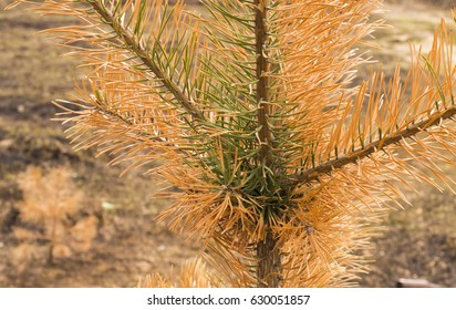 Amazing pine with yellow needles on a burned field