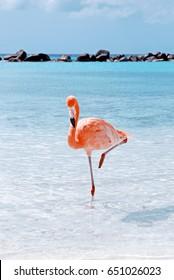 Amazing pink flamingo; Aruba island